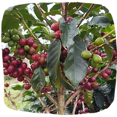 Coffee Cherries.png