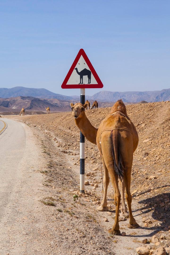 "Jūratė Buivienė – ""Camel and the road sign"" (Oman, 2016)"