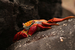 Sally the Lightfoot Crab