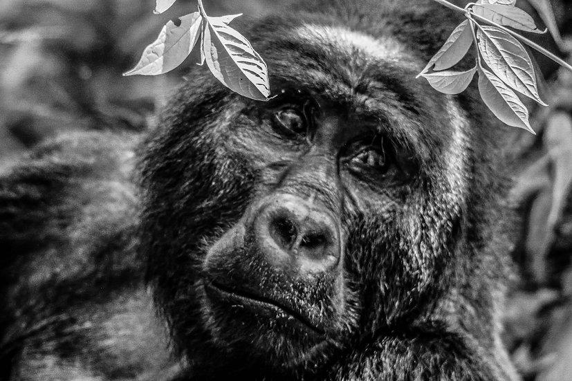 Gorilla Stare