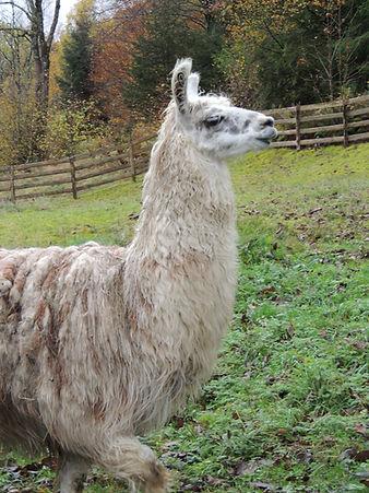 les lamas Gite scaravella vosges roulotte lama