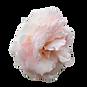 —Pngtree—rose flower natural decorative