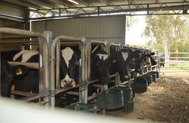 bovine-water-rectum-ao.jpg