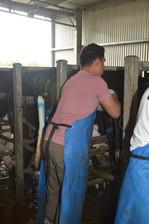 bovine-water-rectum-av.jpg