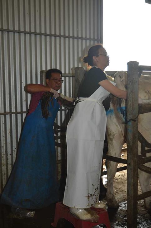 bovine-water-rectum-at.jpg
