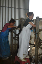bovine-water-rectum-au.jpg