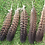 Thumbnail: Wild turkey tail feathers - 6-8 inches / 15-20 cm