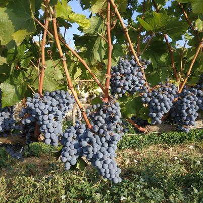 El Marselan és una nova varietat que s'ha adaptat molt bé al Massís del Garraf