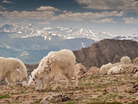 Cashmere Goats and Their Habitat