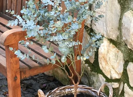Überwintern von Eukalyptus
