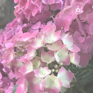 Der richtige Schnitt für Deine Hortensien