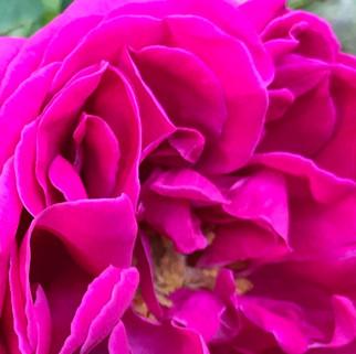 Mme Isaac Perier eine Historische Rose