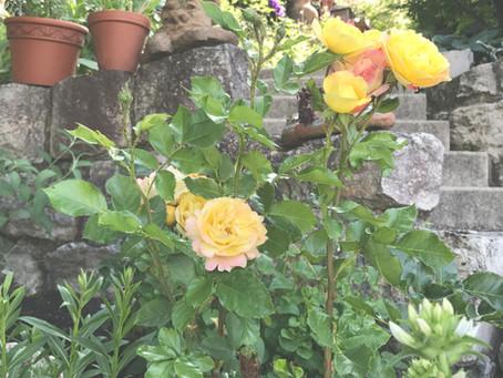 Rosen ... wurzelnackt pflanzen