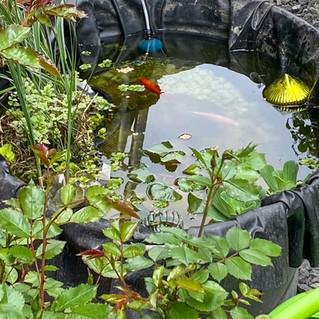Zwei Fische und ein Miniteich
