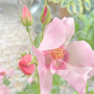 Rosen ... Welche Sorten sind die besten? Teil I