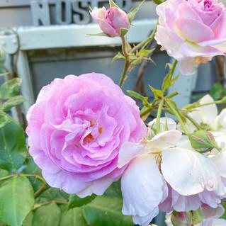 """Rose """"Saphir"""" eine Strauchrose"""