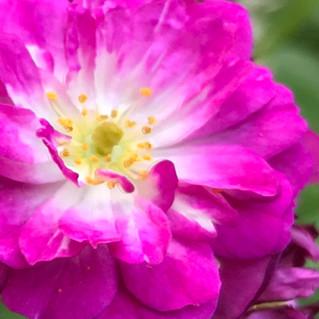 Perennial Blue eine Ramblerrose