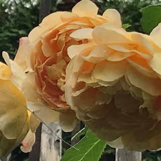 Golden Celebration eine Englische Strauchrose