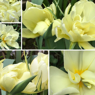 Rückblick: Tulpen