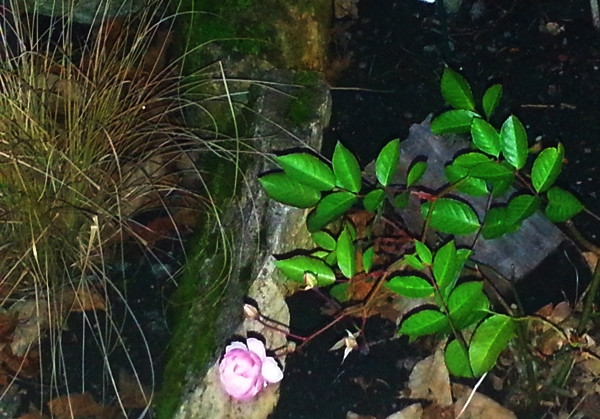 unbekannte Rose mit Blüte im Januar