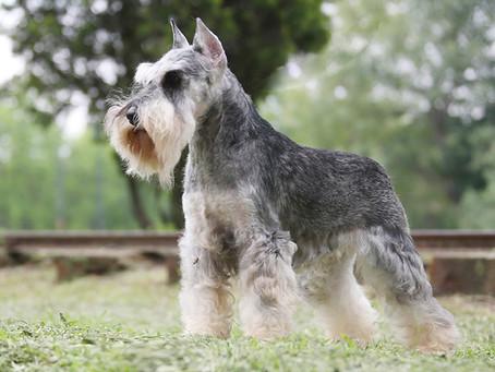 La vida de un cachorro Schnauzer de show