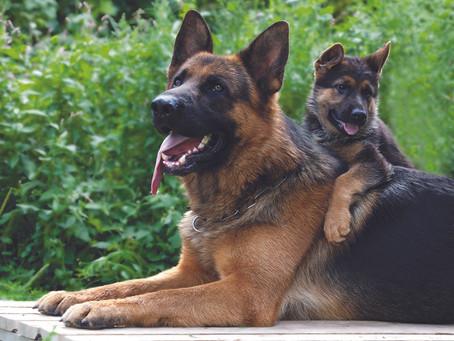 Medicamentos de uso humano y uso veterinario ¿Qué debo darle a mi Pastor Alemán?