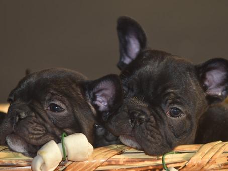 Bulldog Francés: una raza fascinante