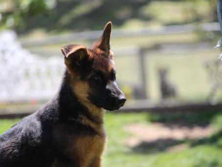 Estudio de la cinognosis y zoognosis canina