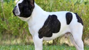Enfermedades, condiciones y alergias frecuentes en el Bulldog Francés