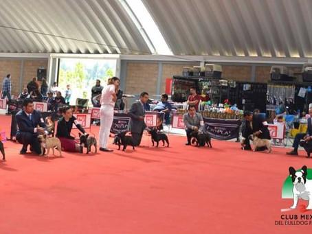 A diez años de la fundación del Club Mexicano del Bulldog Francés A.C.