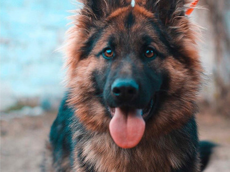 ¿Un perro de trabajo como mascota?