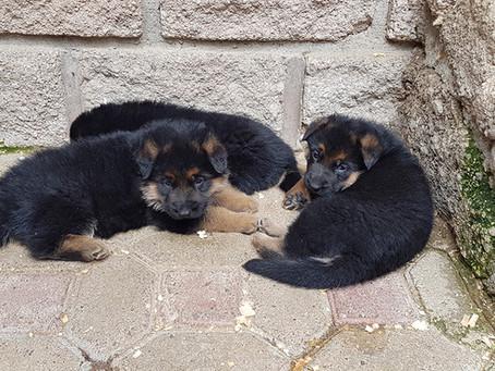 Un cachorro de Pastor Alemán para una familia con niños