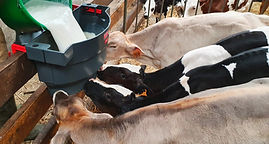 Milk Bar 4 calf feeder