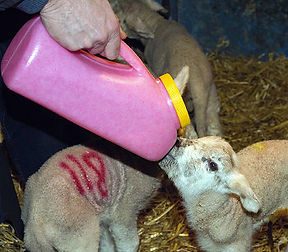 Milk Bar Lamb feeding bottle
