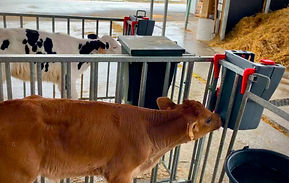 Milk Bar 1 Ezi Lock calf feeder