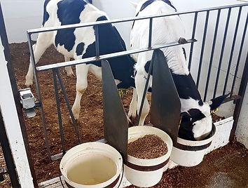 Calves cross suckling