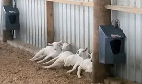 water trough for goats