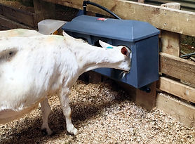 Milk Bar water trough for goats