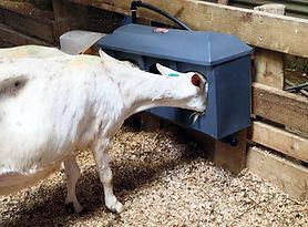 Milk Bar water trough for goats