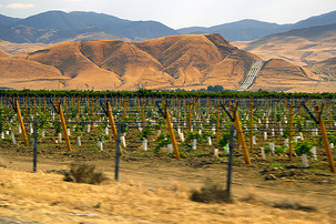 A vineyard near the Grapevine
