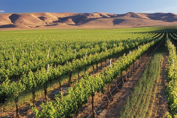 Desert Vineyard