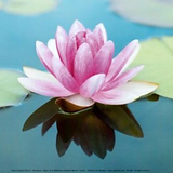 lotus-flower-image-_edited_edited.png