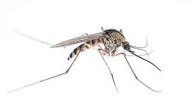 adultmosquito.jpg