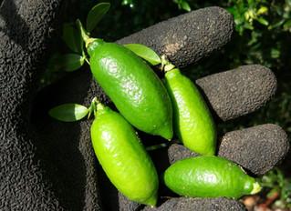 Figer limes harvest season