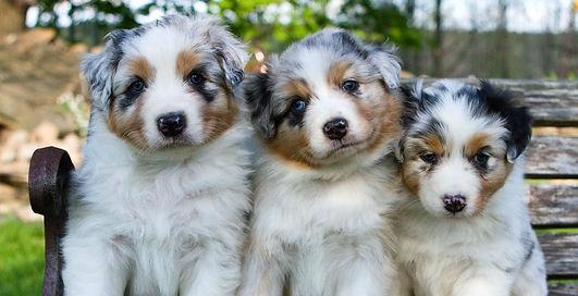 Australian Shepherd Breeder, Australian Shepherd Puppies, Ontario