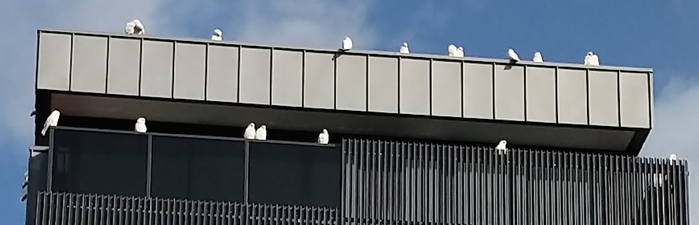 Little Corellas perched on the new apartments above the Old Motor Garage at 735 Glenferrie Road.