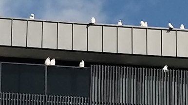 Little Corella Flocks