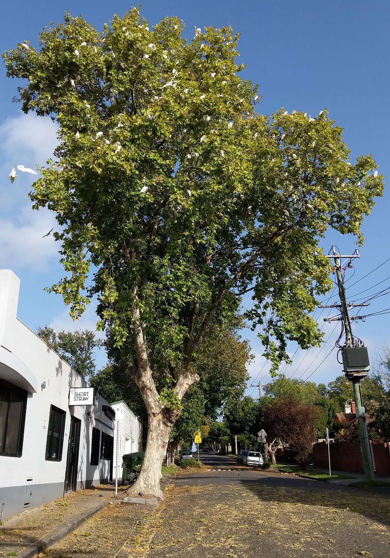 Little Corellas flock in tree outside Short Straw, 743 Glenferrie Road.