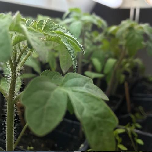Tomato Plant Starts