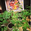 Thumbnail: Tomato Plant Starts